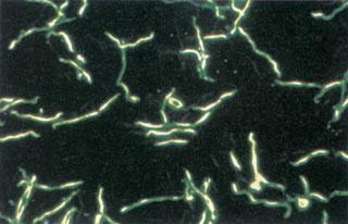 egysejtű baktériumok)