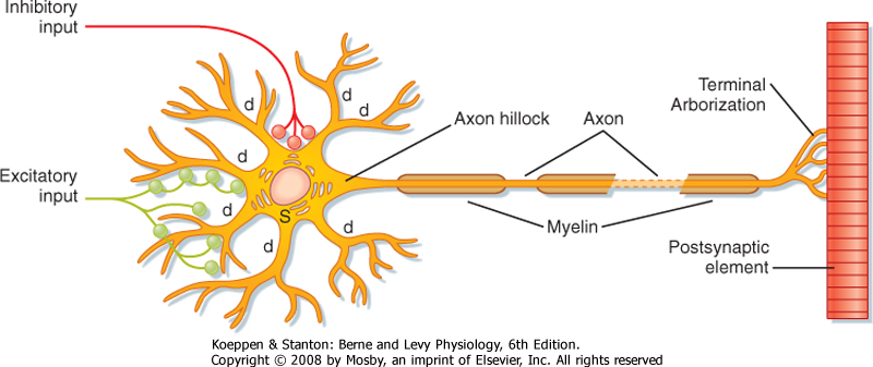 Printed from student consult berne and levy physiology 6e the figure 4 1 schematic diagram of an idealized neuron and its major components most afferent input from axons of other cells terminates in synapses on the ccuart Image collections