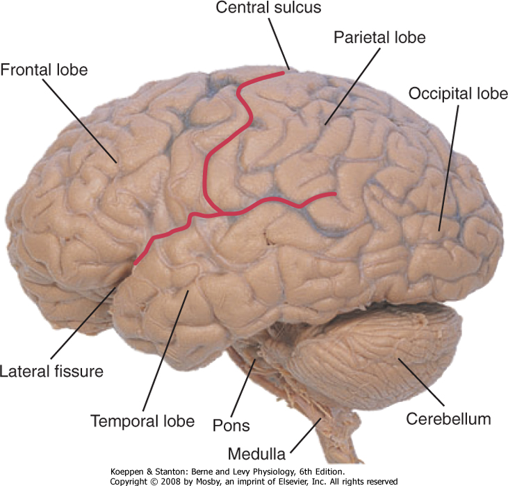 Printed from student consult berne and levy physiology 6e the figure 4 6 lateral view of the human brain showing the left cerebral hemisphere cerebellum pons and medulla note the division of the lobes of the ccuart Image collections