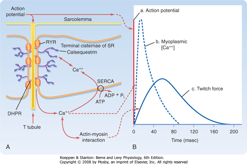 time relationship of action potential and muscle contraction
