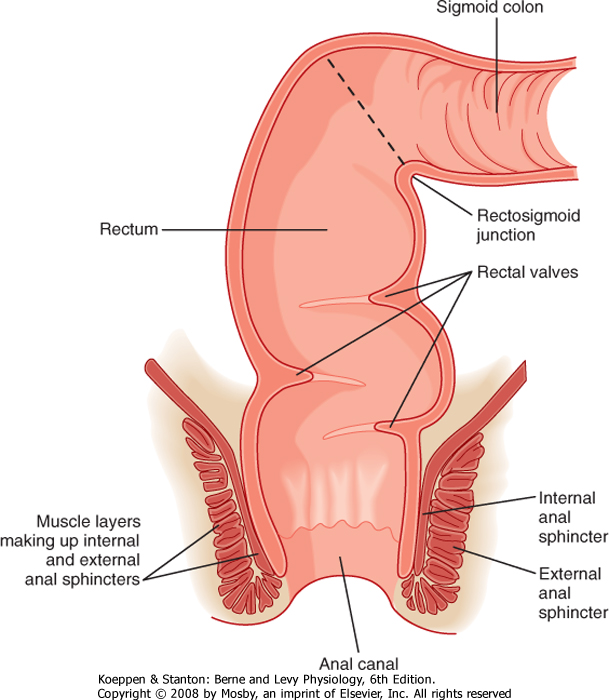 6 Rectum And Anus Digestive System