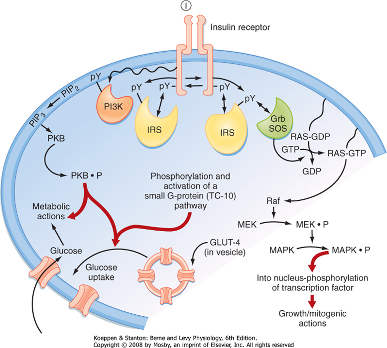 Printed from STUDENT CONSULT: Berne and Levy Physiology 6E ... on phosphatidylinositol 3-kinase pathway, insulin pathway, jak 1 2 3 signaling pathway, pi 3-kinase pathway, adenylate cyclase pathway, il-6 signaling pathway, thyroid pathway,