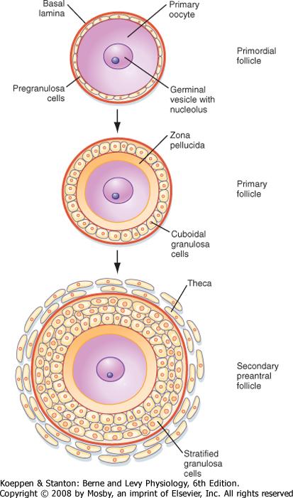 Primordial Follicle Anatomy of a Primordial Follicle