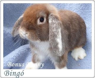Bonus bunny tenyészet