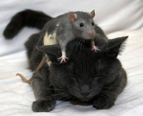 egerek toxoplazmája